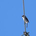 Loggerhead Shrike by Navigator
