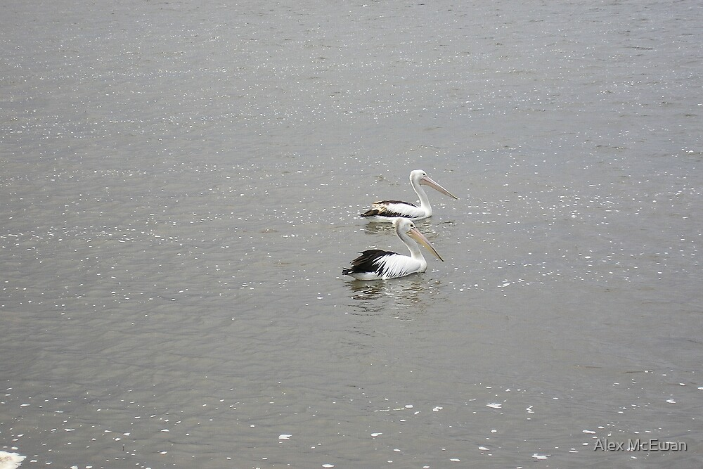 Pelicans on the Water by Alex McEwan