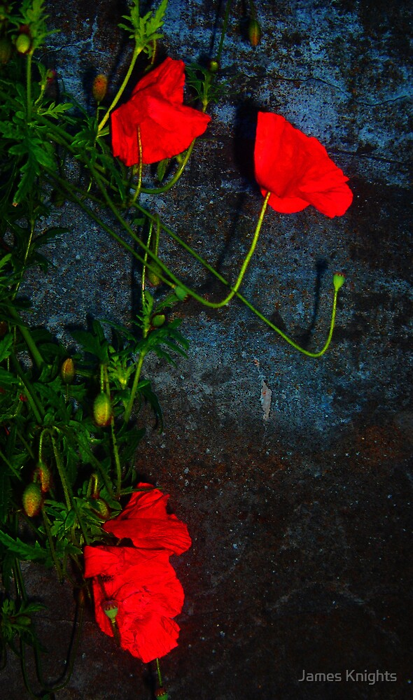 Poppies Against Wall by James Knights