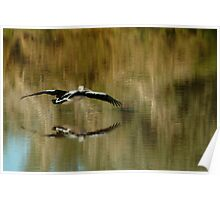 Pelican,Diamantina River, Outback Queensland Poster