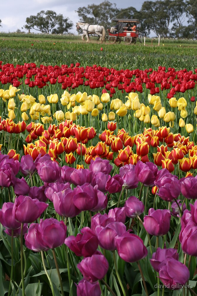 Tulips by david gilliver