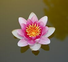 water lily by venkman