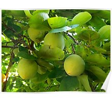 Fresh Fruit    ^ Poster