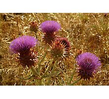 Purple Thistle,Geelong District Photographic Print