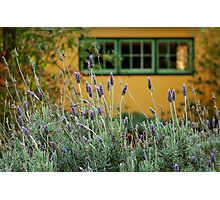 Lavender Cottage Photographic Print