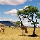 Giraffe's picnic, Kitchwa Tembo, Kenya by Brian Murray