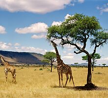 Giraffe's picnic, Kitchwa Tembo, Kenya by Brian Murray