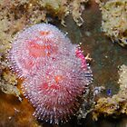 Pink Christmas Tree Worms by Douglas Stetner