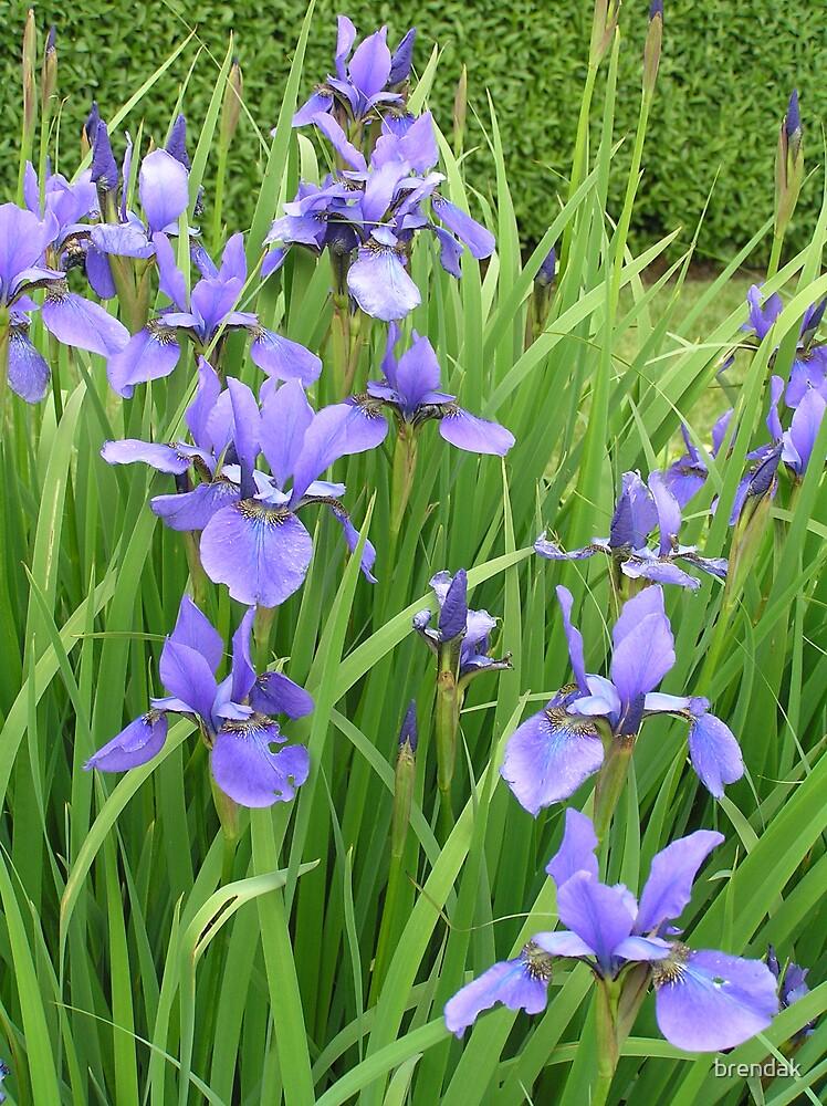 Blue Irises by brendak
