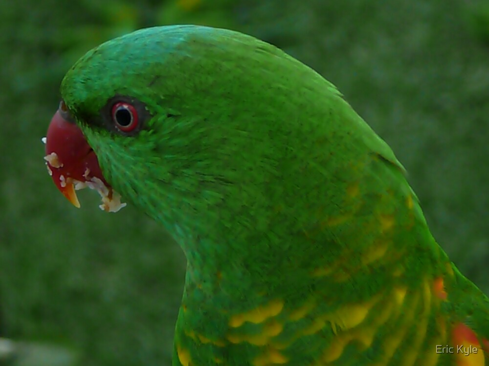 Greedy Grass Parrot. by Eric Kyle