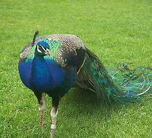 Beautiful peacock by brennysmom