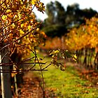 Autumn Vineyard by Michelle Shoosmith