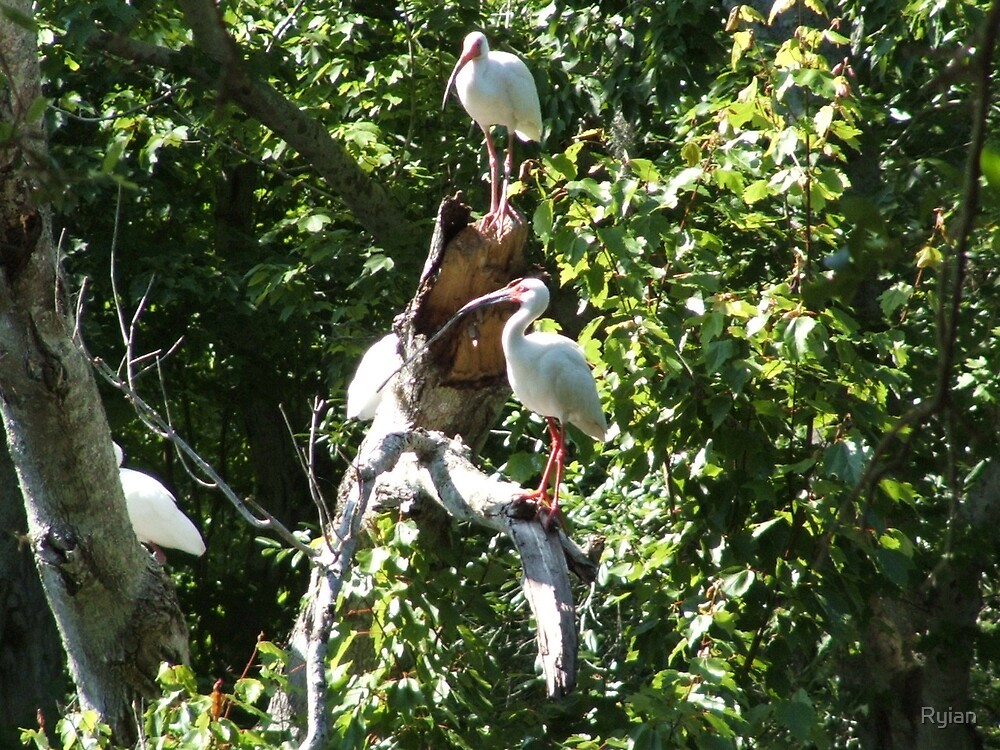 White Ibis by Ryian