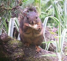 Gray Squirrel eating a pinecone by brennysmom
