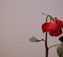 Rose by jonrye