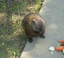 male groundhog by oilersfan11