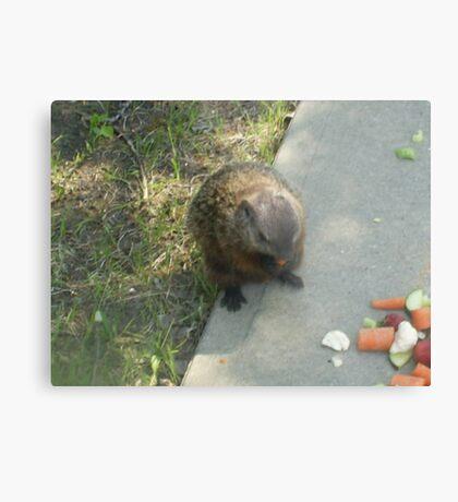 male groundhog Metal Print