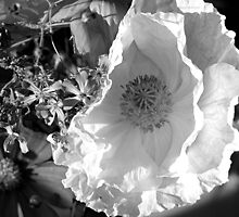 Poppy in Black and White by SunnyDay