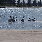 Pelicans in Sparkling Water by kalaryder
