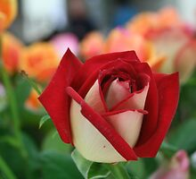 Rose by Paul Barber