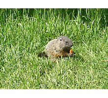 groundhog in the grass Photographic Print