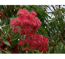 Red flowering gum from Australia Photographic Print