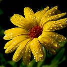 Raindrops on Marigold by Leeo