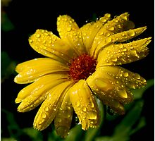 Raindrops on Marigold Photographic Print