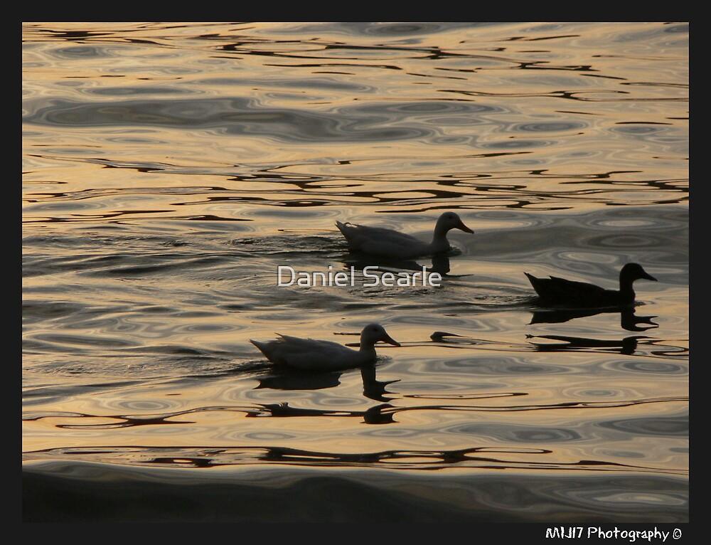 Ducks on the Bay, Palm Beach, Sydney, Nsw by Daniel Searle