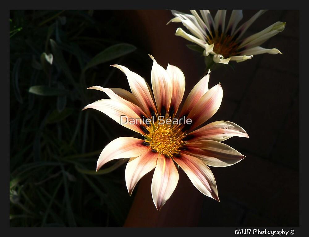 Auntys Flower  by Daniel Searle