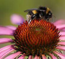 Bee on Flower by C B