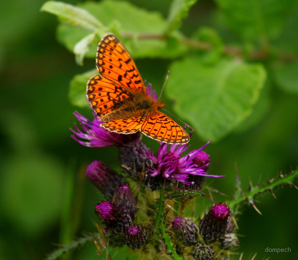 Butterfly on thistle by dompech