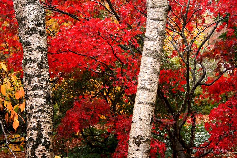 http://www.redbubble.com/people/rivergirl/art/everything/tags/dandenongs; Red maple and white birches by Robyn Lakeman