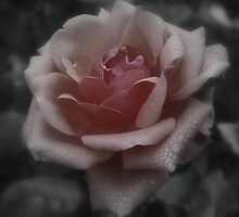 Winter Rose by munsterphotography