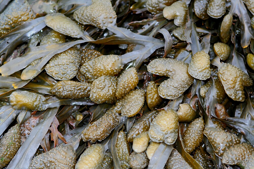seaweed by dompech