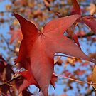 Red Leaves Fall 2014 by 319media