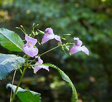Renfrew Ravine flora - wild lily by Rod Raglin