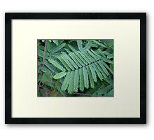 Dwarf Acacia Framed Print