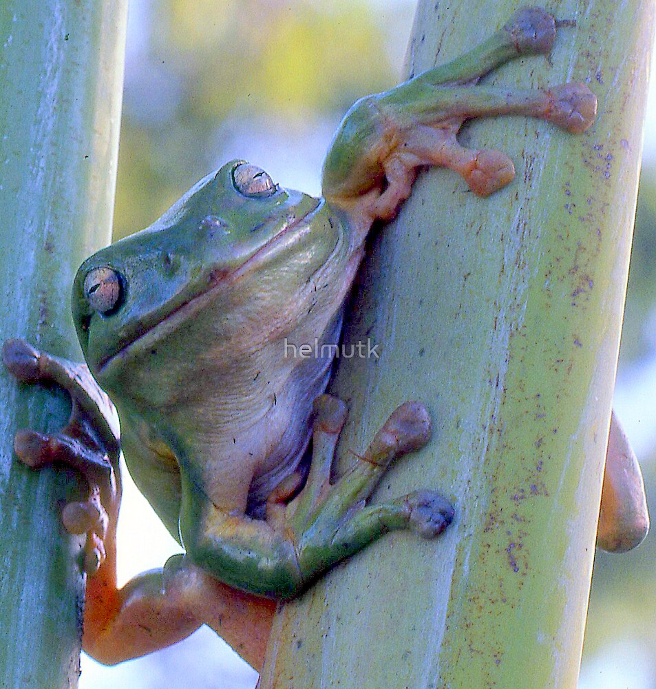 Smiling green tree frog by helmutk