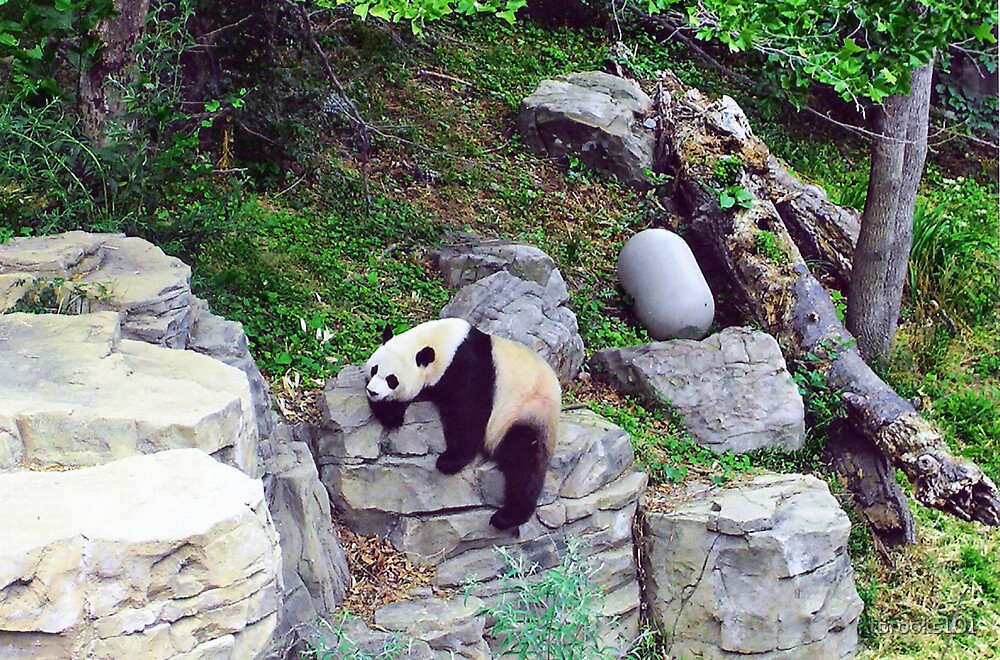 Giant Panda... by tbrooks101