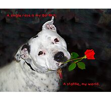 For the Love of Staffies Photographic Print