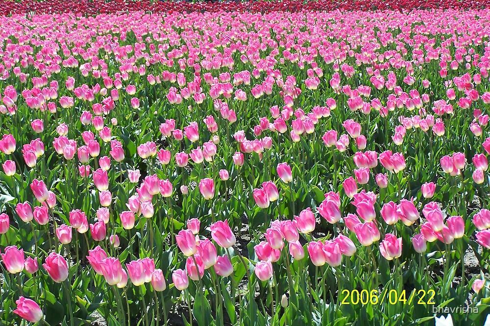 Beautiful  pink by bhavrisha