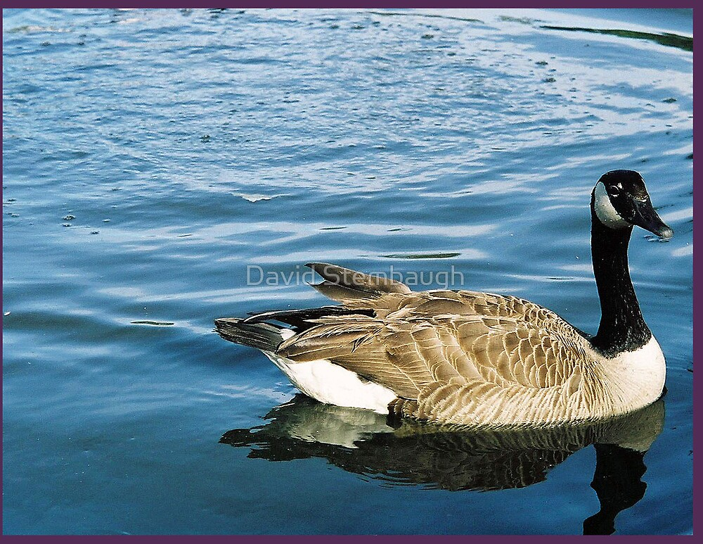 canadiaqn goose by David Stembaugh