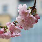 Cherry Blossom by Mark Wilson