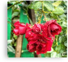 Wet red roses Canvas Print
