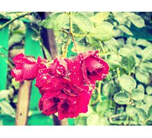 Wet red roses 2 Photographic Print