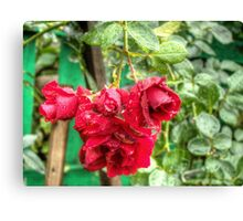 Wet red roses 3 Canvas Print