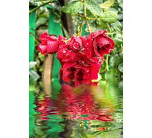 Wet red roses 4 Photographic Print