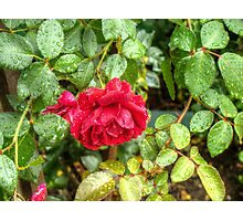 Wet red roses 6 Photographic Print