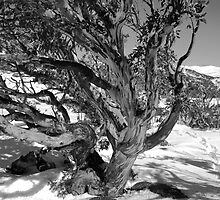 Winter snowgum B & W by Craig Shadbolt